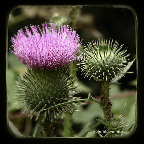 Faux TTV pink thistle copy
