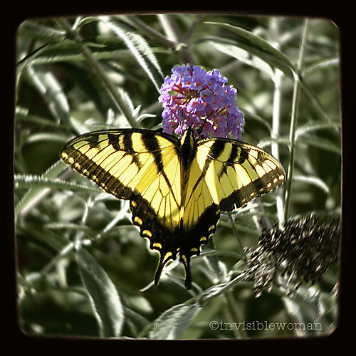 Butterfly Mum garden 8-08 square crop copy
