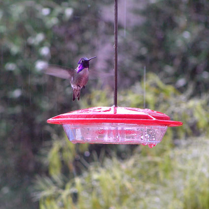 Hummer-male-costas-in-the-r