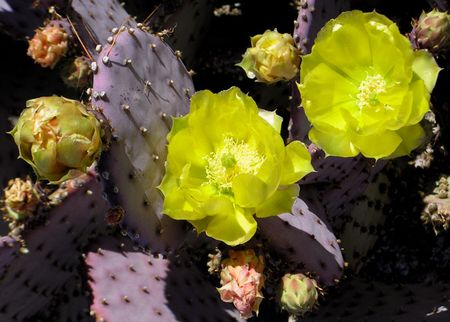 Purple-prickly-bloom-1