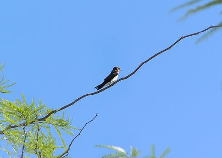 Swallow-along-desert-foothi
