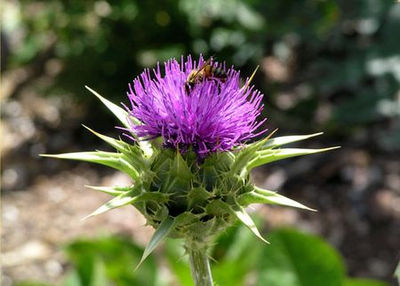 Milk-thistle-bee-dbg-4-48