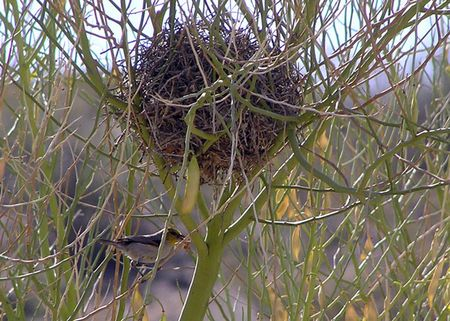 Verdin-at-nest-5-28-df