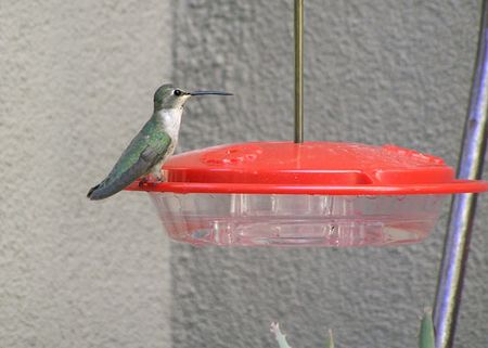 Hummer-female-queenie-4-19