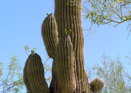 Grizzly-saguaro-3-budding