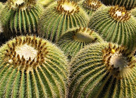 Cactus-golden-barrel-dbg-4-