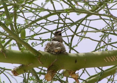 Hummer-mom-on-nest-2-5-20-d
