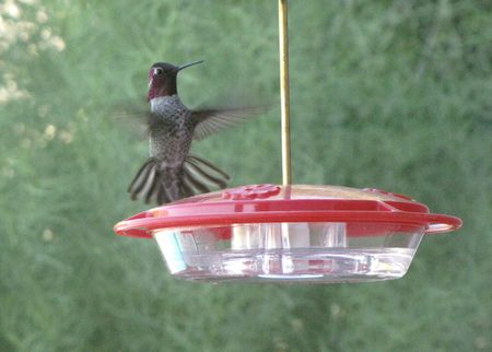 Hummer-annas-backyard-10-29