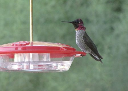 Hummer-annas-m-backyard-10-