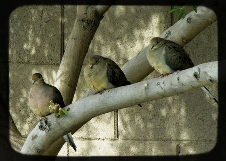 Faux-TTV-three-doves-flatte