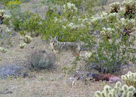 4-13-John's-photo-coyote-cr