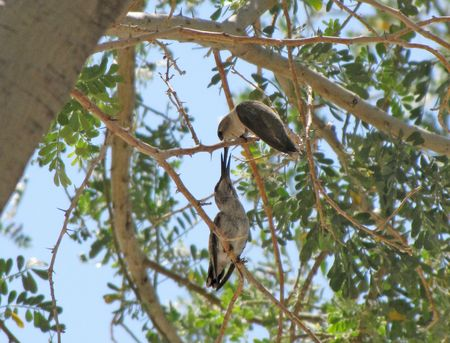 5-7 Mama feeding fledged hummer