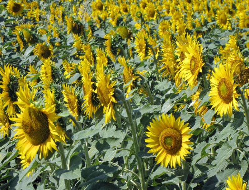 7-2-assisi-sunflowers-field