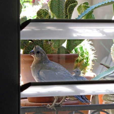 8-20-tmw-quail-at-window-3