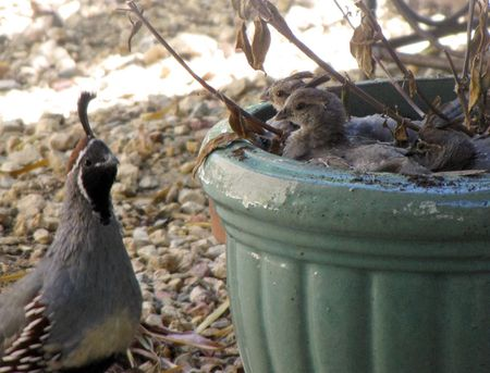 9-5-tmw-quail-babies-in-pot
