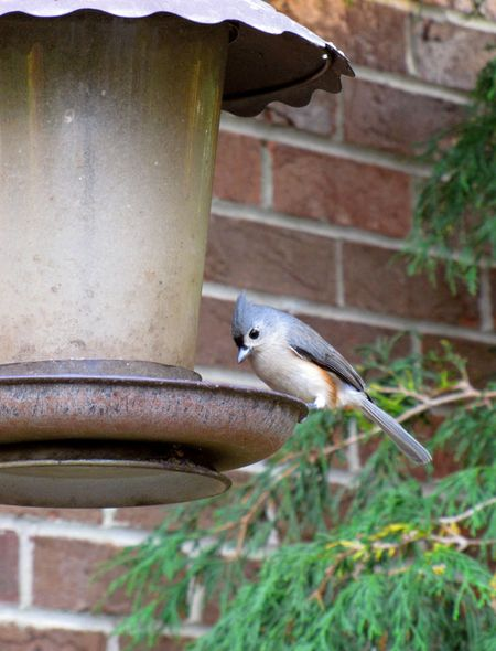 10-11-titmouse-at-feeder