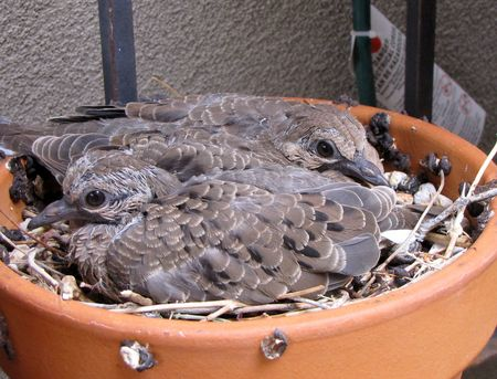Dove-babies-front-5-13