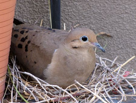 Doves-side-nest-5-13