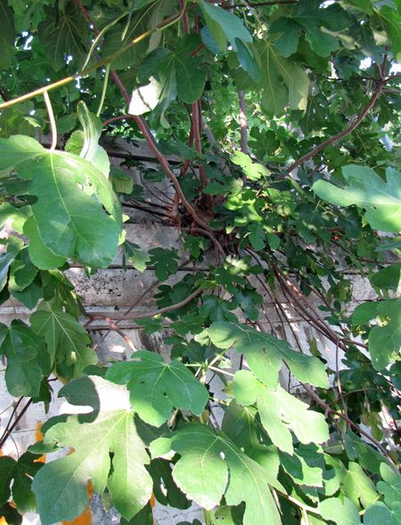 Rome-Sunday-wild-fig-tree