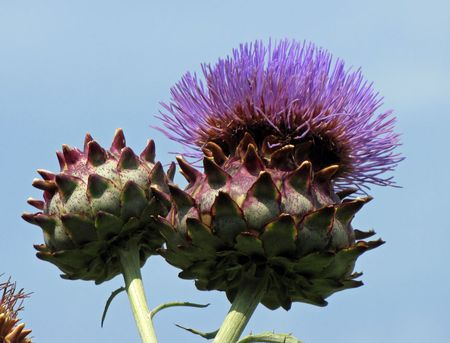 6-26-blue-cardoon-Orto-Bont