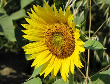 7-2-assisi-sunflower-closeu