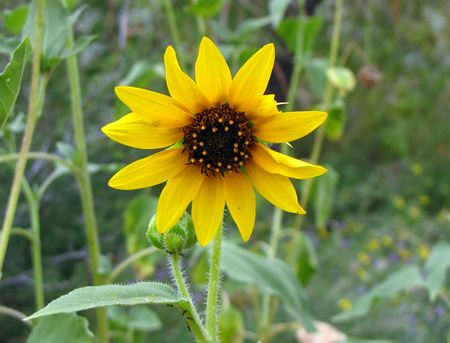 9-8-DBG-4-sunflower