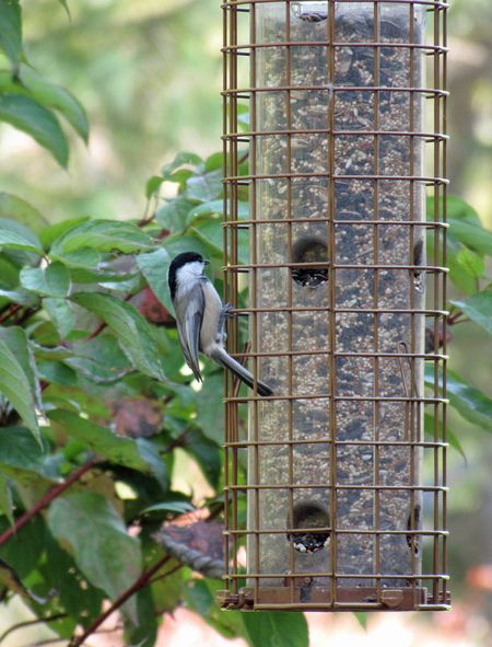 10-9-chickadee-at-feeder
