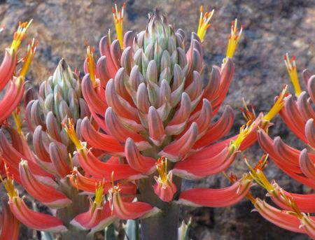 2-25-dbg-2.4-aloe-blossoms-