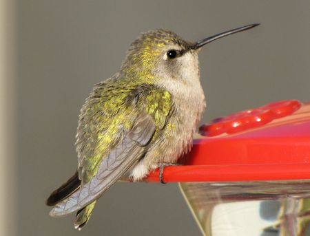 1-1-hummer-costas-female-zo