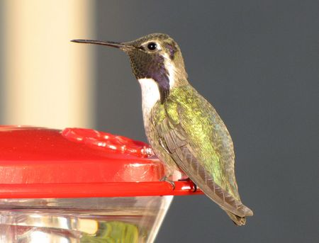 1-1-hummer-costas-male-zoom