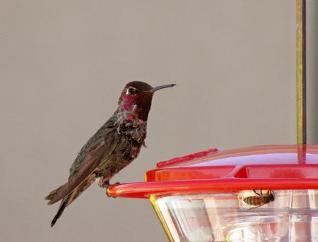 1-29-hummer-Annas-male-1