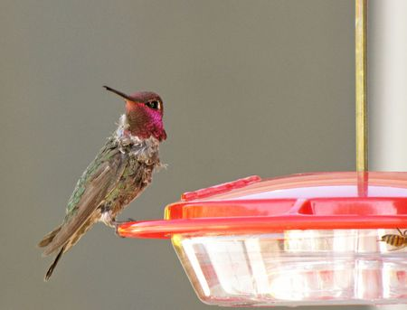 1-29-hummer-Annas-male-3