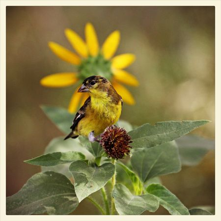 9-13-DBG-goldfinch-sunflowe