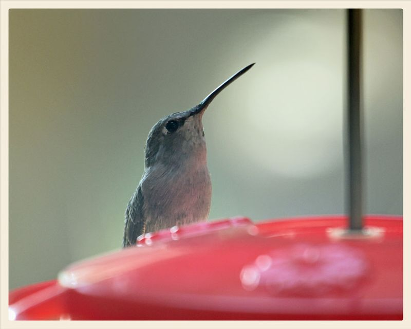 8-18-TMW-female-hummer-1