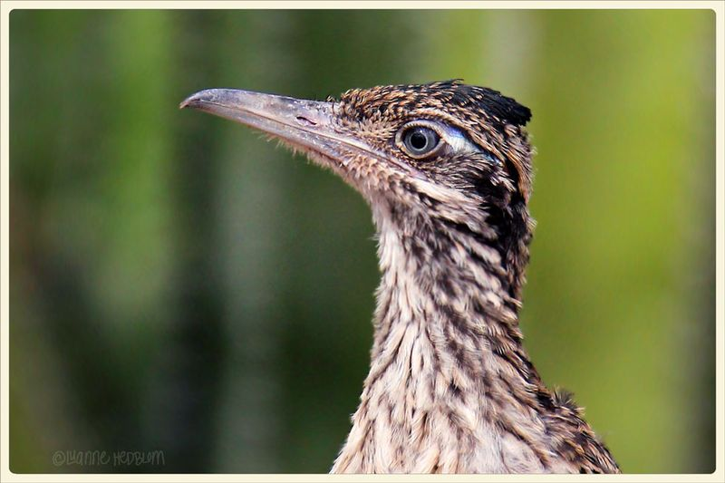 9-13-DBG-young-roadrunner